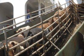 Gracias a la exportación de hacienda en pie los criadores uruguayos se olvidaron de las crisis de precios