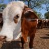 Sin regalo de Navidad para los ganaderos argentinos: derrumbe de precios de la hacienda por exceso de oferta de proteínas animales