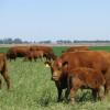 Apareció la oferta de créditos en dólares para ganadería