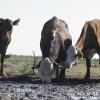 Comenzó un proceso de liquidación de vientres en el norte: el gobierno nacional sigue sin declarar la emergencia por sequía