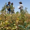El ingreso de la cosecha argentina de garbanzo se presenta en el peor momento: los precios internacionales son los más bajos de los últimos tres años