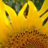 Argentina prohíbe el uso del insecticida diclorvós para intentar recuperar el mercado europeo de aceite de girasol