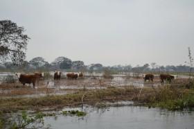 Crecida histórica del río Paraná: tiempo de descuento para retirar hacienda en islas