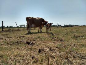 Sequía en Uruguay: comenzaron los preparativos para distribuir una ayuda oficial de 180 kilos de pellet de cáscara de soja por cabeza
