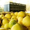 Comenzó a regir la emergencia económica para la cadena argentina de producción de cítricos