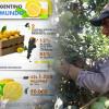 Primera señal de un desastre potencial: detectaron en el NOA limones provenientes de una zona que registró casos de HLB