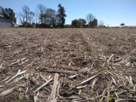 Aporte de humedad para el maíz: esta semana se prevén precipitaciones de hasta 40 milímetros