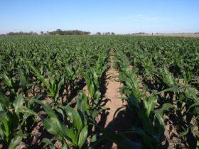 ¿Lo sabías? Con el proyecto de reforma de Ley de Semillas el costo directo del maíz tardío podría reducirse en un tercio