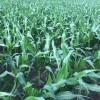 """Siguen los """"premios"""" en el mercado de maíz disponible: pero en el ciclo 2016/17 los exportadores comenzaron a operar sobrecomprados"""