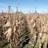 Gracias a las retenciones el maíz equipara en competitividad a la soja: igual ambos cultivos son inviables con los precios actuales