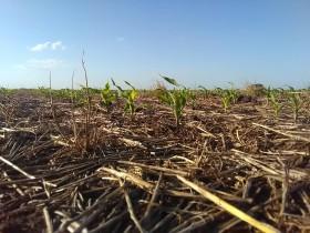 Esta semana no se prevén precipitaciones importantes en la zona pampeana: se complica la siembra de maíz tardío en algunos sectores