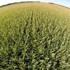 Con el crecimiento del área de maíz se viene una extracción masiva de micronutrientes: nueva hipoteca agrícola en potencia