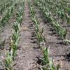 Interacción híbrido/densidad: un factor clave ante heladas tardías