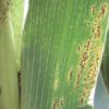 Pautas para gestionar la sanidad en maíz