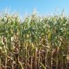 Subsidio forzoso: para vender maíz a los consumos los productores deben pagar una retención superior a la vigente en soja
