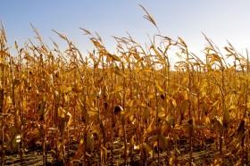 Próximo desastre agrícola en puerta: los precios internacionales del maíz son tan bajos que aún sin retenciones es inviable en muchas zonas extra pampeanas
