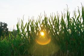 Bienvenido mercado climático estadounidense: fuerte alzas de precios de los granos gruesos por el ingreso de una ola de calor extremo en el Medio Oeste