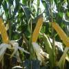 El maíz convencional será el ganador de la campaña 2012/13: pero tendrá que compensar las pérdidas generadas por la soja