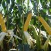 En lo que va del año las exportaciones argentinas de híbridos de maíz cayeron más de un 30% por menores ventas a EE.UU.