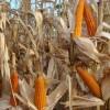 En lo que va del año la exportación de maíz colorado argentino cayó un 12%: el valor FOB promedio se ubica en apenas 250 u$s/tonelada