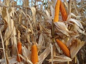 El maíz colorado argentino tiene un precio de exportación 38 u$s/tonelada superior al convencional
