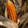 Los primeros embarques de la cosecha temprana de maíz colorado tienen un diferencial de precios del 20%