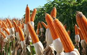 El maíz colorado argentino tiene un precio de exportación casi 25% superior al convencional