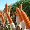 El valor de exportación del maíz colorado argentino mantiene el diferencial del 23% versus el cereal convencional