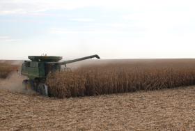Competencia feroz: el maíz tardío tiene un premio superior al 15% en plena cosecha