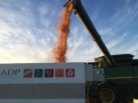 Se acabaron los premios en el mercado de maíz disponible: sólo los seguirán recibiendo los productores que tomaron coberturas
