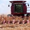 Premio por escasez: la retención efectiva del maíz disponible se ubica en el 18%