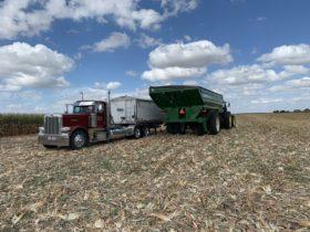 Los fondos de inversión juegan a la par de USDA: profundizaron apuestas bajistas en maíz