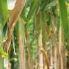 Última oportunidad para el maíz: el jueves se prevén lluvias sobre las regiones bonaerenses necesitadas de agua