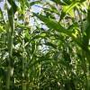 Los exportadores se retiraron del mercado: la retención efectiva del maíz 2012/13 es del 27%