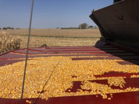 Un hecho jamás visto: China desplazó a México para transformarse en el primer comprador de maíz estadounidense