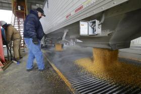 El recorte de la producción mundial de trigo terminó impulsando los valores del maíz
