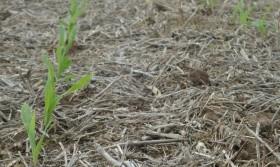 En 2013 el maíz será la caja de los productores argentinos: la soja se empleará como reserva de valor