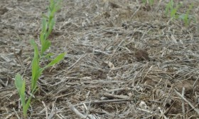 Primera estimación de siembra argentina de maíz: se perderían al menos 370.000 hectáreas