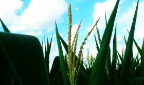 Alerta maíz: en EE.UU. prevén una profundización de la caída de precios en caso de lograr la cosecha estimada