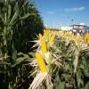 El precio promedio de exportación de los híbridos de maíz argentinos se mantiene estable en 5,4 u$s/kg