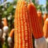 Un refugio contra el mercado bajista: el maíz colorado tiene un precio de exportación 36 u$s/tonelada superior al convencional