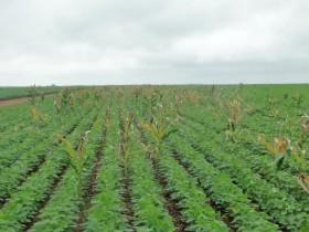 """Embrapa alerta que el maíz guacho RR atenta contra el cultivo de soja: """"Puede reducir hasta un 50% la productividad"""""""