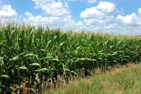 """El gobierno flexibilizó requisitos para que más productores de maíz puedan acceder a las compensaciones: definió al cereal como """"oleaginosa"""""""