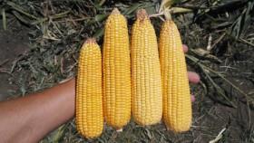 Los exportadores están sobrecomprados en maíz 2016/17: esperan el ingreso de la cosecha temprana sentados arriba de una montaña de granos