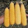 Con el combo integrado por el planchazo del precio del maíz más los altos costos de fletes llegó la revancha para los planteos ganaderos extrapampeanos