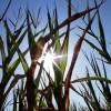 Esta semana terminará de cocinarse el maíz de siembra temprana: no se prevén precipitaciones sobre la región pampeana