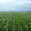 Nuevo escenario político: el maíz temprano argentino 2015/16 ya cotiza sin retenciones