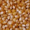 Comenzaron a descender los precios de exportación del maíz pisingallo por el ingreso de la cosecha argentina