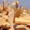 Se viene otra campaña con una súper siembra de maíz tardío: será necesario reformular la planificación comercial del cultivo