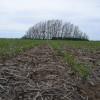 Exportadores buscan alternativas creativas para originar maíz antes de un eventual incremento de retenciones